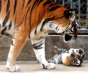 a-siberian-tiger-cub-plays-with-its-mother-at-the