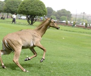 Nilgai rescued near Parliament