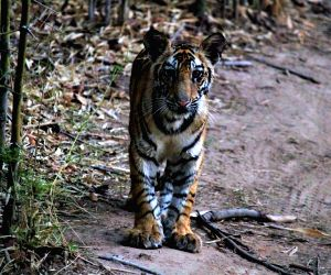 Camera-traps doubled, new regions to increase accuracy in new tiger census