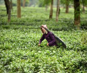 Nagaon (Assam): Worker plucking tea leaves at tea garden