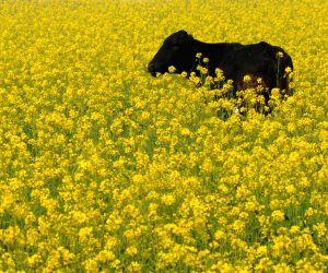 A buffalo grazes in a mustard field