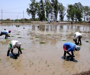 Amritsar: Farmers busy planting paddy saplings at a field near Amritsar, on June 14, 2019. The Punjab government permitted paddy growers to transplant their crops from June 13 instead of June 20, the date fixed earlier, following requests from variou