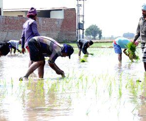 Farmers busy transplanting of rice seedlings