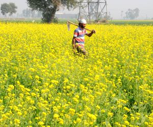 Mustard fields bloom in Punjab