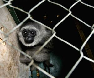 INDONESIA-BANDUNG-SILVERY GIBBON-RELEASE