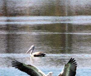 Pelican swim in the Jakkur Lake