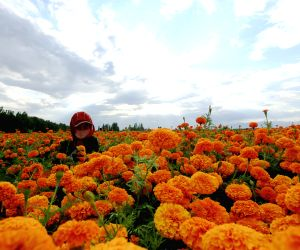 CHINA-XINJIANG-FARM-MARIGOLD