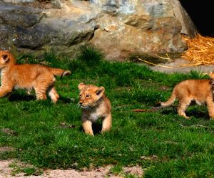 BELGIUM MECHELEN ASIATIC LIONS