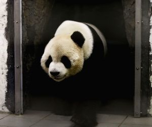 BELGIUM PANDA CHINA ZOO REOPEN