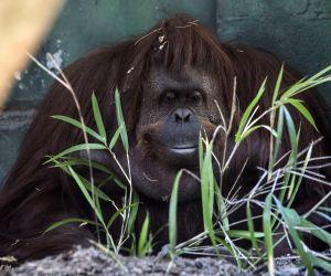 World's oldest Sumatran orangutan dead