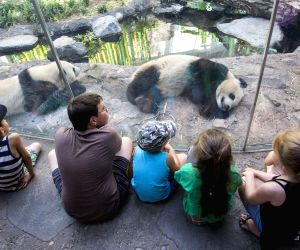 CANADA-CALGARY-ZOO-GIANT PANDAS