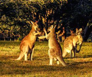 AUSTRALIA-CANBERRA-KANGAROOS