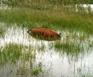 Tiger carcass found floating in backwaters of Kabini Dam