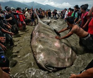 INDONESIA-CENTRAL SULAWESI-WHALE SHARK STRANDED