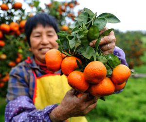 CHINA-CHONGQING-ORANGE-HARVEST