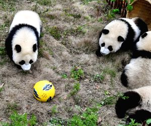 China-sichuan-football-themed Party-giant Pandas