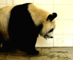 Ya'an: Newly-born cub of Giant panda