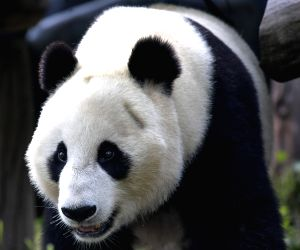 China-sichuan-u.s.-giant Panda-return