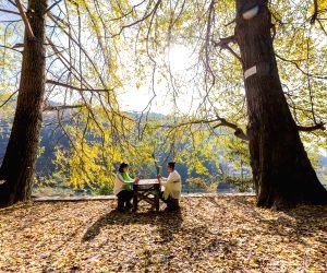 CHINA CHONGQING GINKGO TREES