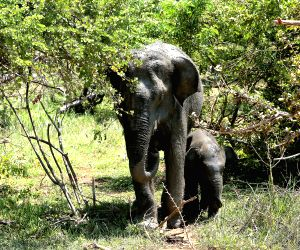 SRI LANKA-WILDLIFE-ELEPHANT