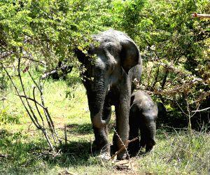 SRI LANKA WILDLIFE ELEPHANT