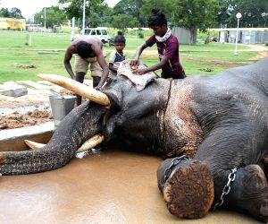 Mysuru (Karnataka): Dasara elephants c