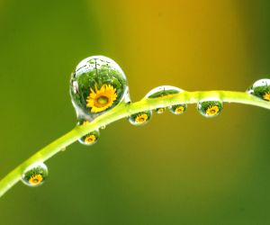Sunflowers reflected in water drops