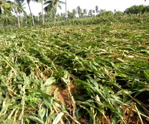 Destroyed fields in Phalin affected district of Andhra Pradesh