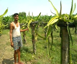 Up Farmers Rewrite Their Destiny With Dragon Fruit Farming