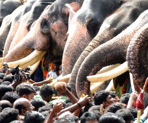 Elephants being fed at the Vadakkunnathan Temple
