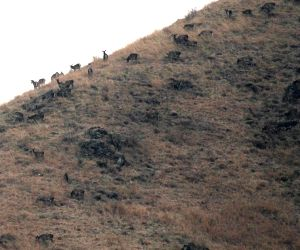 Hangul, the rare Kashmir deer, may soon go extinct