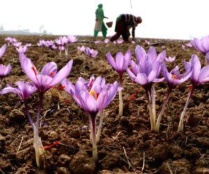 Pampore (J&K): Saffron cultivation