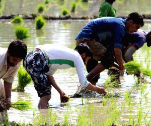 Farmers busy planting paddy saplings