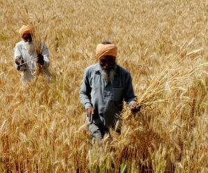Farmers harvest wheat
