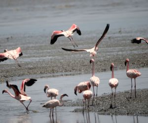Flamingoes at Sewri Jetty