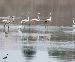 Flamingos at Osman Sagar reservoir