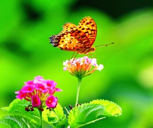 CHINA FUJIAN BUTTERFLY LANTANA CAMARA