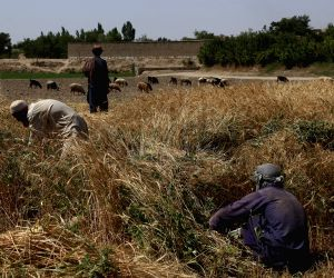 AFGHANISTAN GHAZNI FARMER