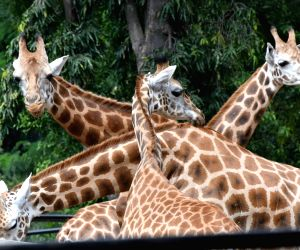Giraffe dies at Mysuru Zoo