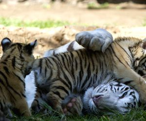 Guatemala City (Guatemala): Cubs of Bengal tiger with their mother