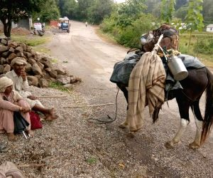 Gujjars shift from mountains to plains ahead of winters