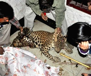 Zoo officials hold a fully grown leopard
