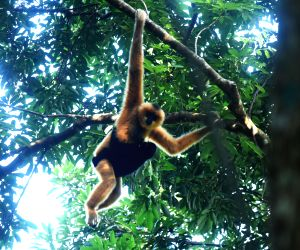 CHINA HAIKOU HAINAN GIBBON