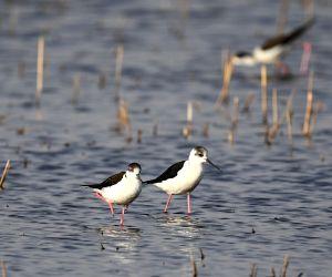 CHINA-INNER MONGOLIA-HOHHOT-MIGRATORY BIRDS