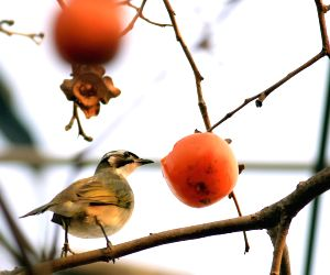 China Jiangsu Bird Persimmon