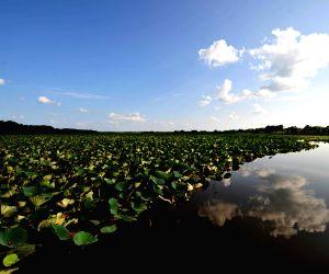 Lotus in Crescent Lake