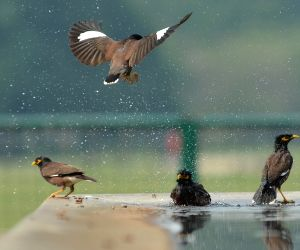 Hot Day - Indian Mynas Playing In Water