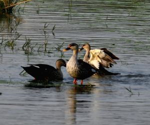 Indian Spot-billed Ducks Seen Swimming Through The Serene Waters Of A Pond