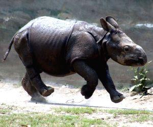 Rhinoceros calf at Alipore Zoological Gardens