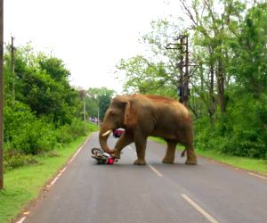 Jhargram (west Bengal): Elephants Block Jhargram- Lodhasuli Road, Trample A Motorcycle
